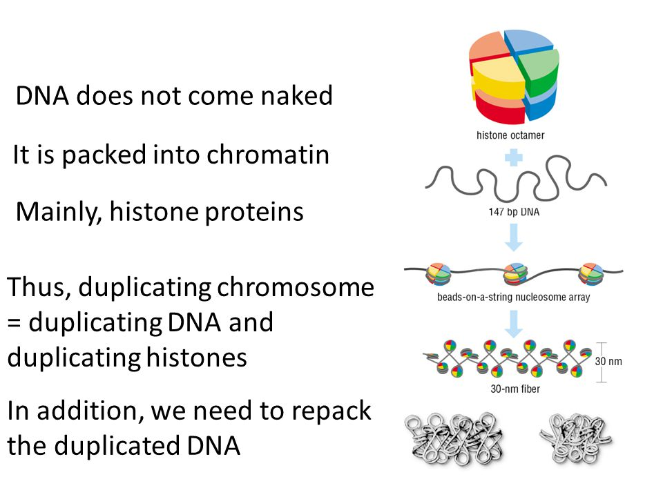 DNA does not come naked It is packed into chromatin Mainly, histone proteins Thus, duplicating chromosome = duplicating DNA and duplicating histones In addition, we need to repack the duplicated DNA