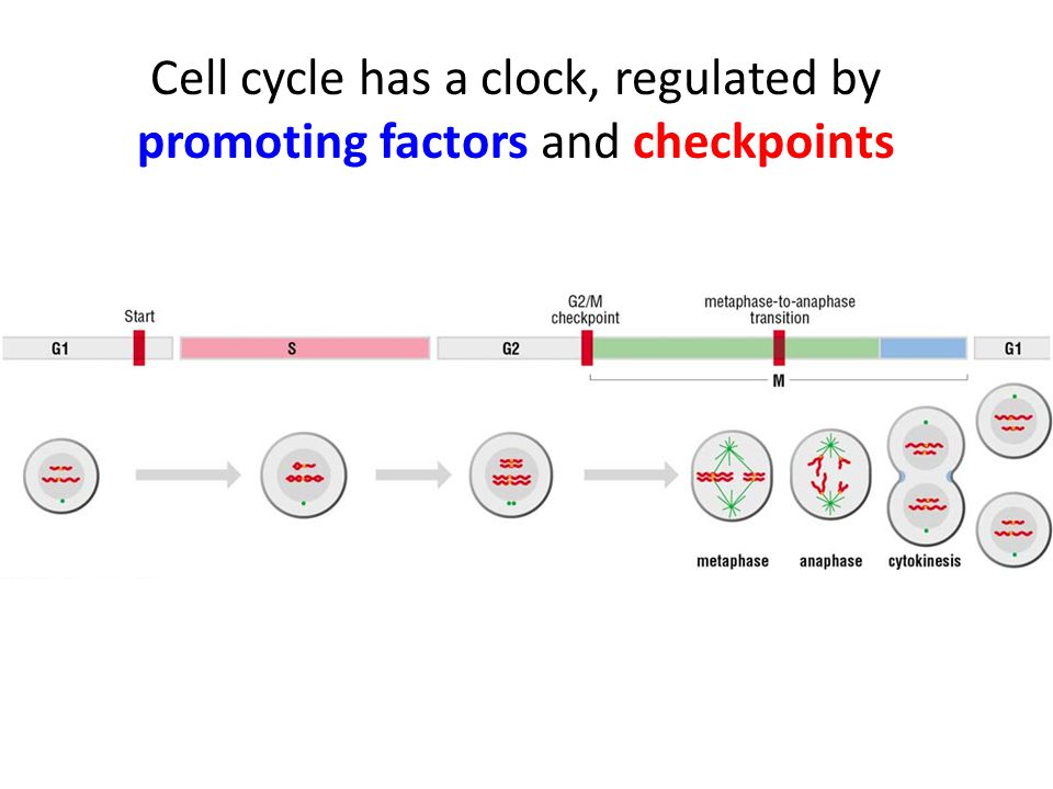 Cell cycle has a clock, regulated by promoting factors and checkpoints