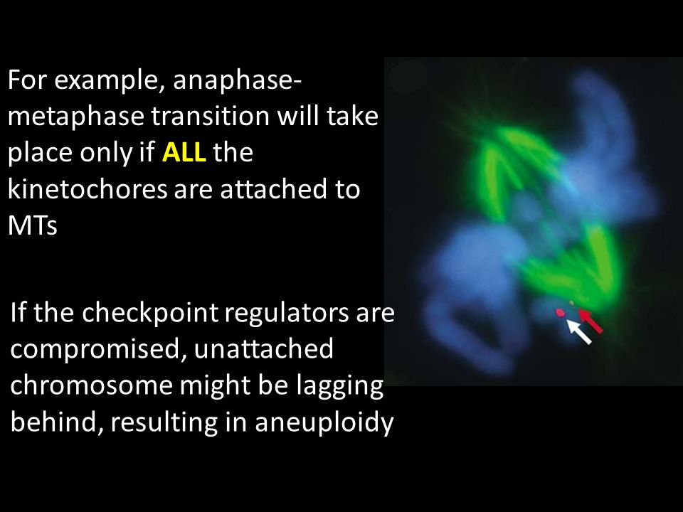For example, anaphase- metaphase transition will take place only if ALL the kinetochores are attached to MTs If the checkpoint regulators are compromised, unattached chromosome might be lagging behind, resulting in aneuploidy