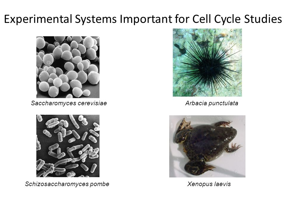Experimental Systems Important for Cell Cycle Studies Arbacia punctulata Xenopus laevisSchizosaccharomyces pombe Saccharomyces cerevisiae