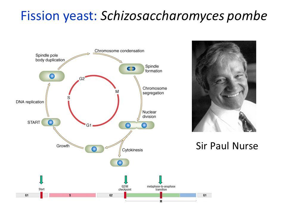 Sir Paul Nurse Fission yeast: Schizosaccharomyces pombe