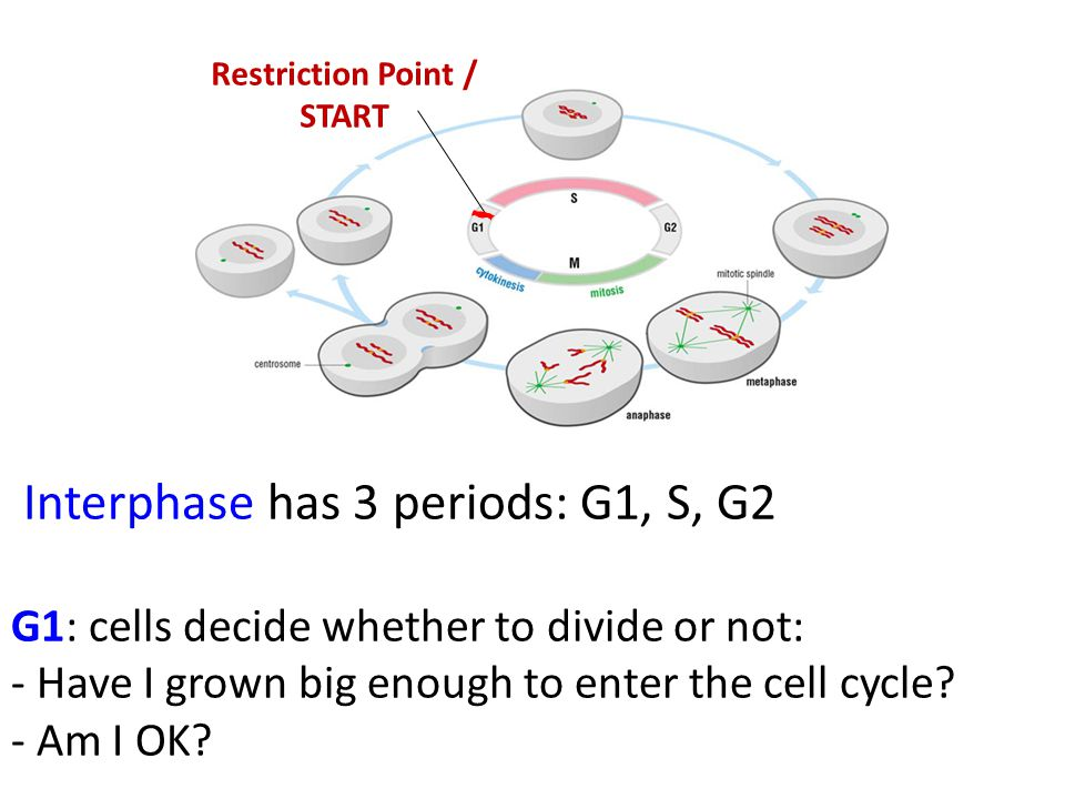 Interphase has 3 periods: G1, S, G2 G1: cells decide whether to divide or not: - Have I grown big enough to enter the cell cycle? - Am I OK? Restricti