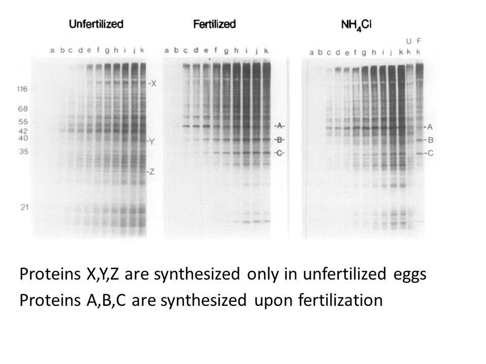 Proteins X,Y,Z are synthesized only in unfertilized eggs Proteins A,B,C are synthesized upon fertilization