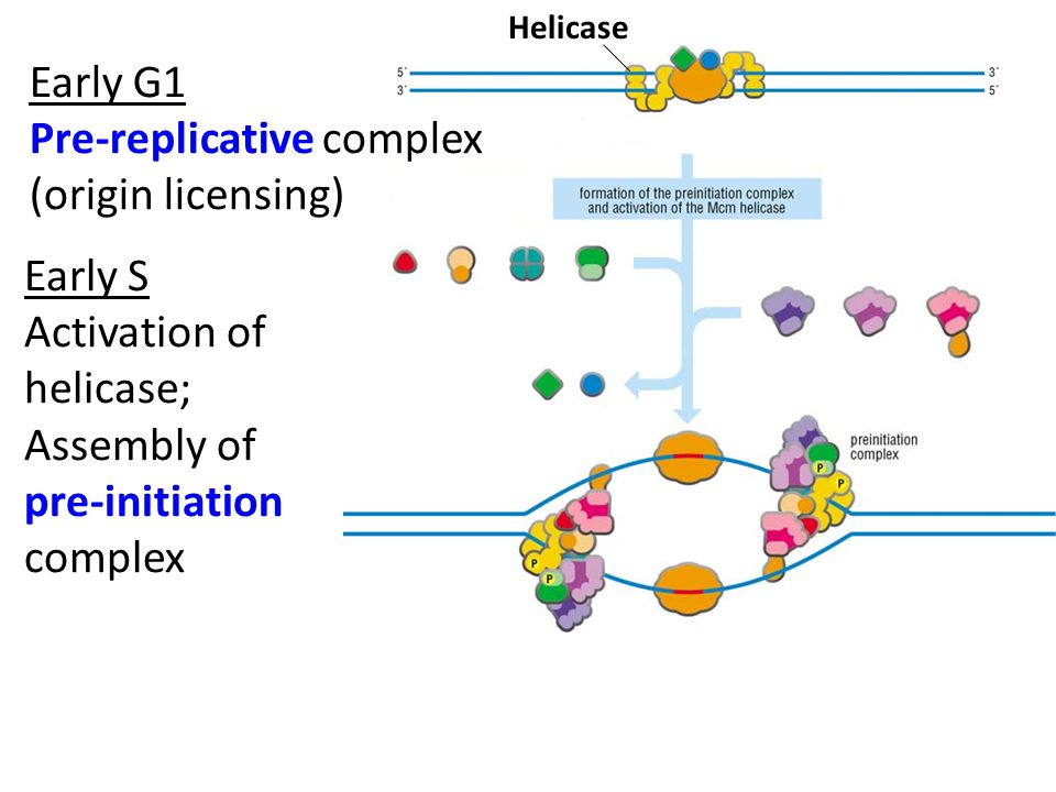 Early G1 Pre-replicative complex (origin licensing) Early S Activation of helicase; Assembly of pre-initiation complex Helicase