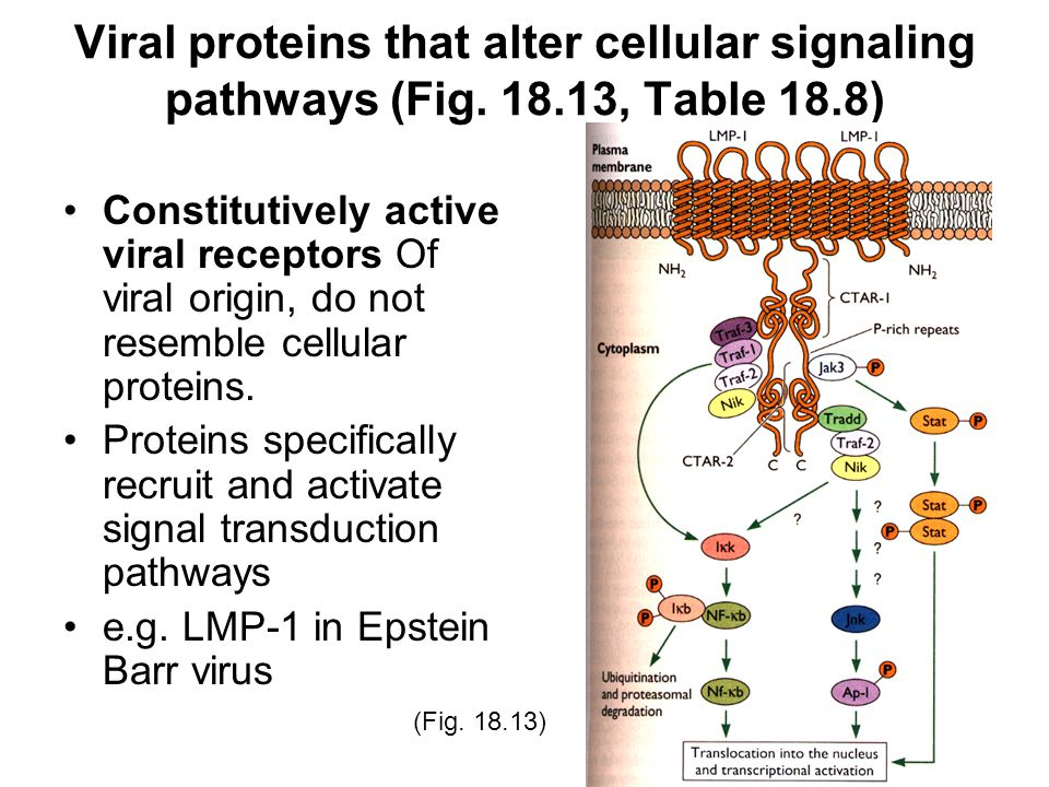 Viral proteins that alter cellular signaling pathways (Fig. 18.13, Table 18.8) Constitutively active viral receptors Of viral origin, do not resemble