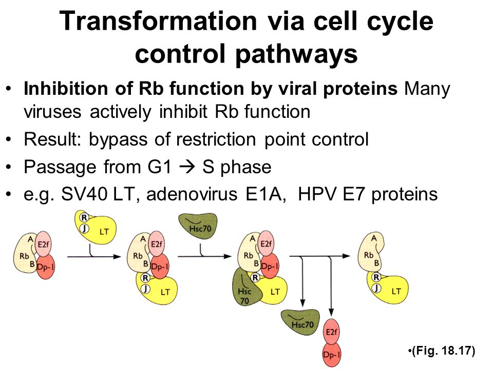 Transformation via cell cycle control pathways Inhibition of Rb function by viral proteins Many viruses actively inhibit Rb function Result: bypass of restriction point control Passage from G1  S phase e.g.