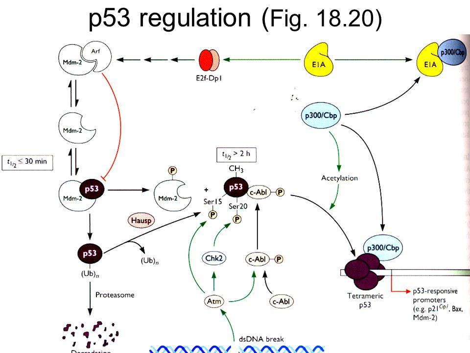 p53 regulation ( Fig. 18.20)