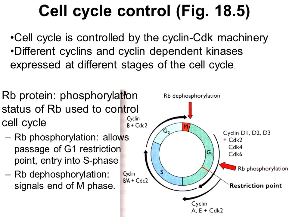 Cell cycle control (Fig. 18.5) Rb protein: phosphorylation status of Rb used to control cell cycle –Rb phosphorylation: allows passage of G1 restricti