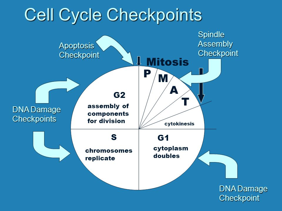 Cell Cycle Checkpoints G1 S G2 cytoplasm doubles chromosomes replicate assembly of components for division cytokinesis P M A T Mitosis DNA Damage Checkpoints Checkpoint ApoptosisCheckpointSpindleAssemblyCheckpoint