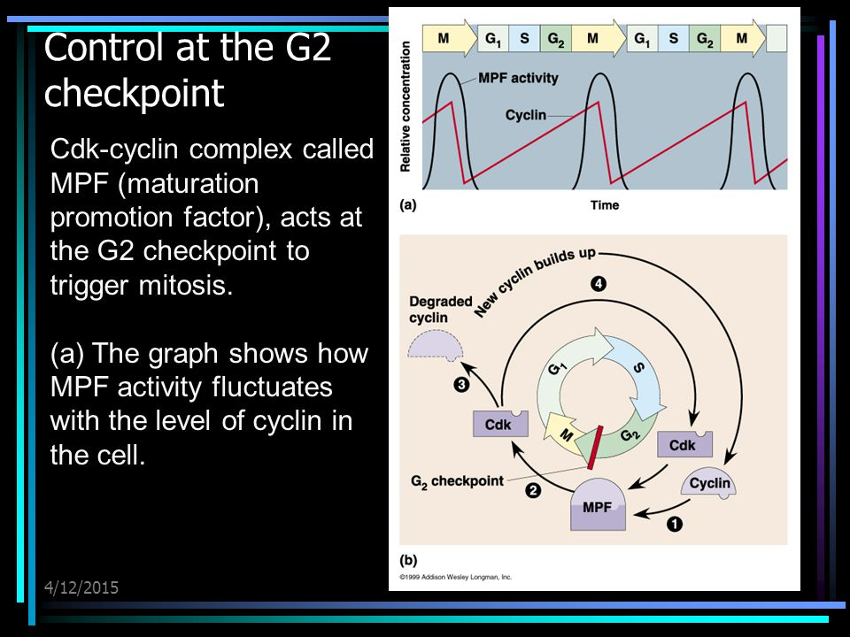 4/12/2015 Control at the G2 checkpoint Cdk-cyclin complex called MPF (maturation promotion factor), acts at the G2 checkpoint to trigger mitosis. (a)