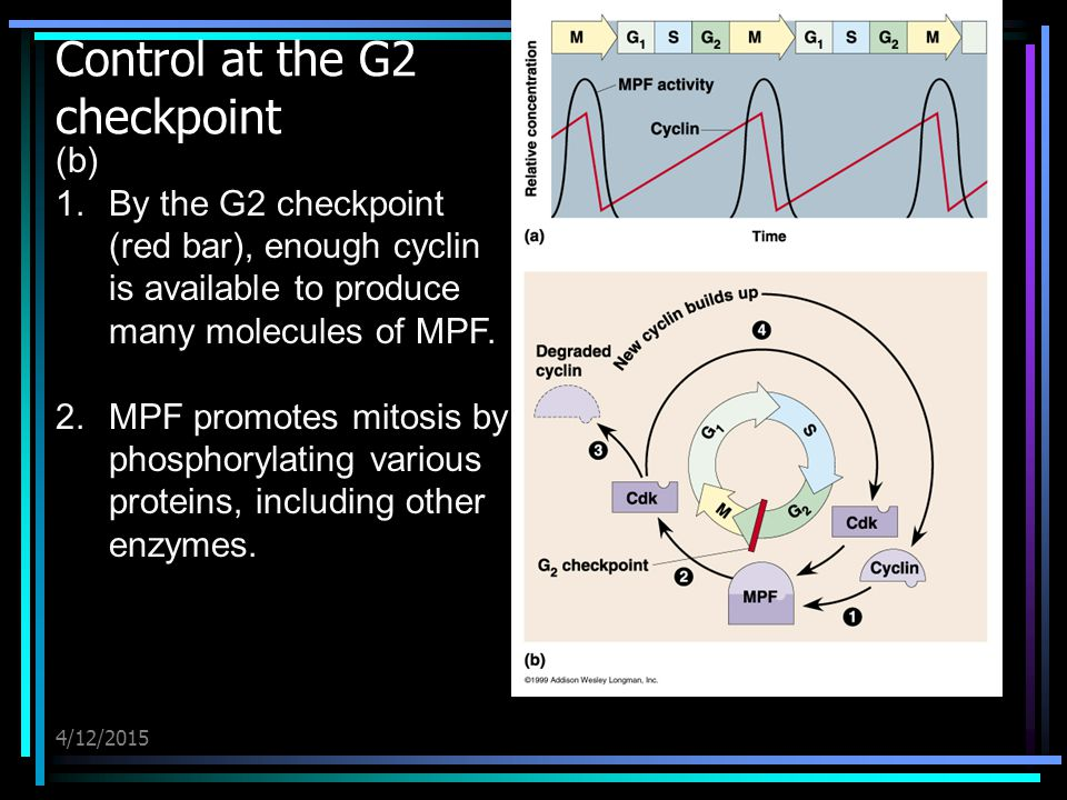 4/12/2015 Control at the G2 checkpoint (b) 1.By the G2 checkpoint (red bar), enough cyclin is available to produce many molecules of MPF. 2.MPF promot