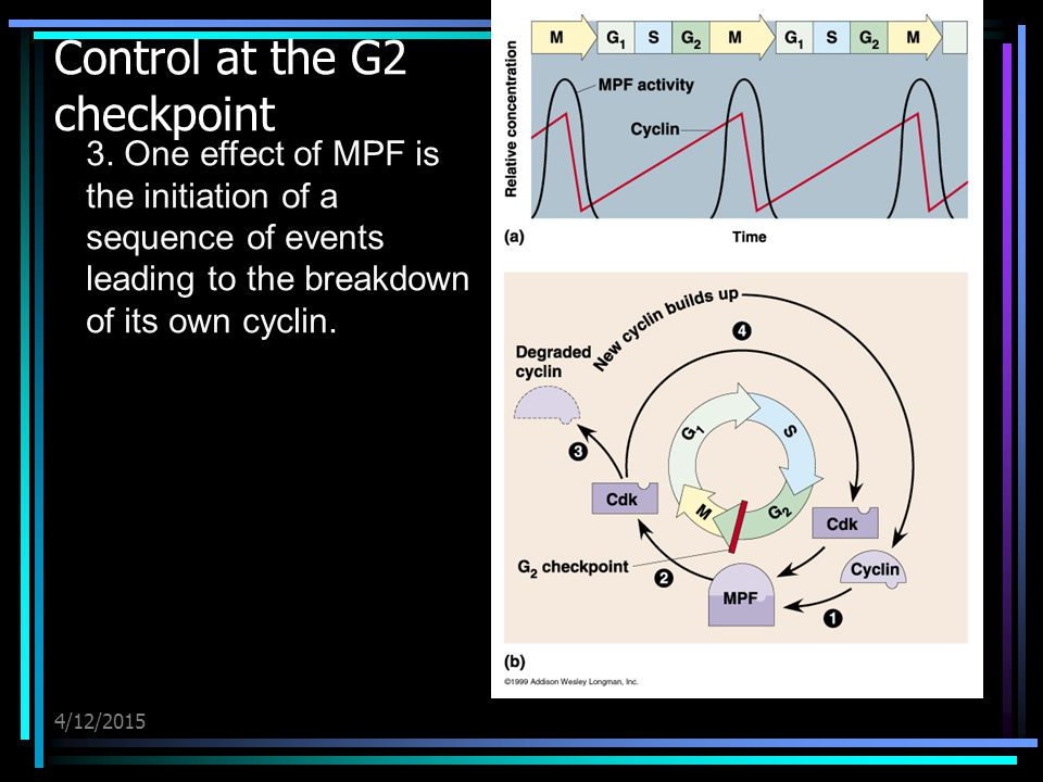 4/12/2015 Control at the G2 checkpoint 3. One effect of MPF is the initiation of a sequence of events leading to the breakdown of its own cyclin.