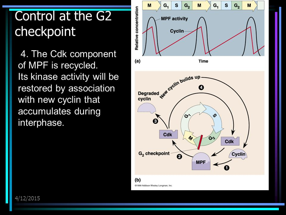 4/12/2015 Control at the G2 checkpoint 4. The Cdk component of MPF is recycled. Its kinase activity will be restored by association with new cyclin th