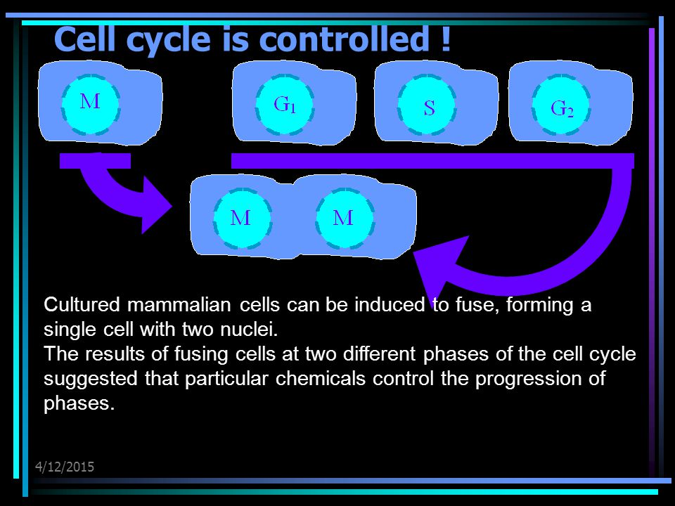 4/12/2015 Cell cycle is controlled ! Cultured mammalian cells can be induced to fuse, forming a single cell with two nuclei. The results of fusing cel