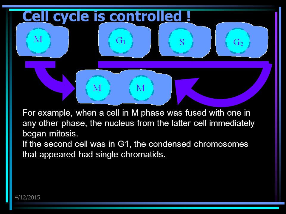 4/12/2015 Cell cycle is controlled ! For example, when a cell in M phase was fused with one in any other phase, the nucleus from the latter cell immed