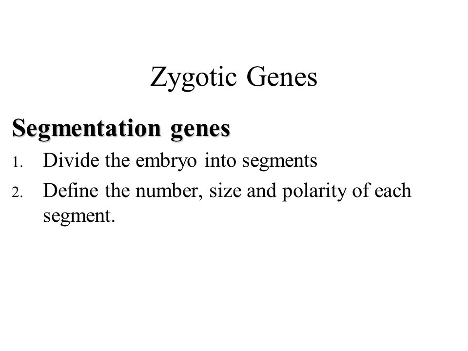 Zygotic Genes Segmentation genes 1. Divide the embryo into segments 2.