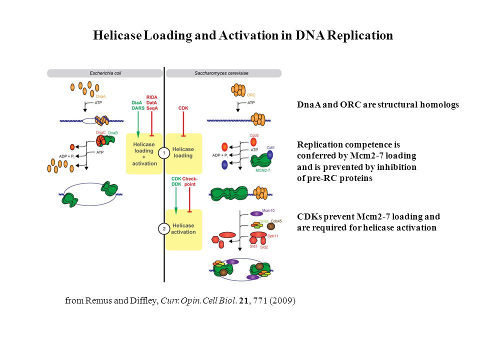 from Remus and Diffley, Curr.Opin.Cell Biol. 21, 771 (2009) Helicase Loading and Activation in DNA Replication DnaA and ORC are structural homologs Re