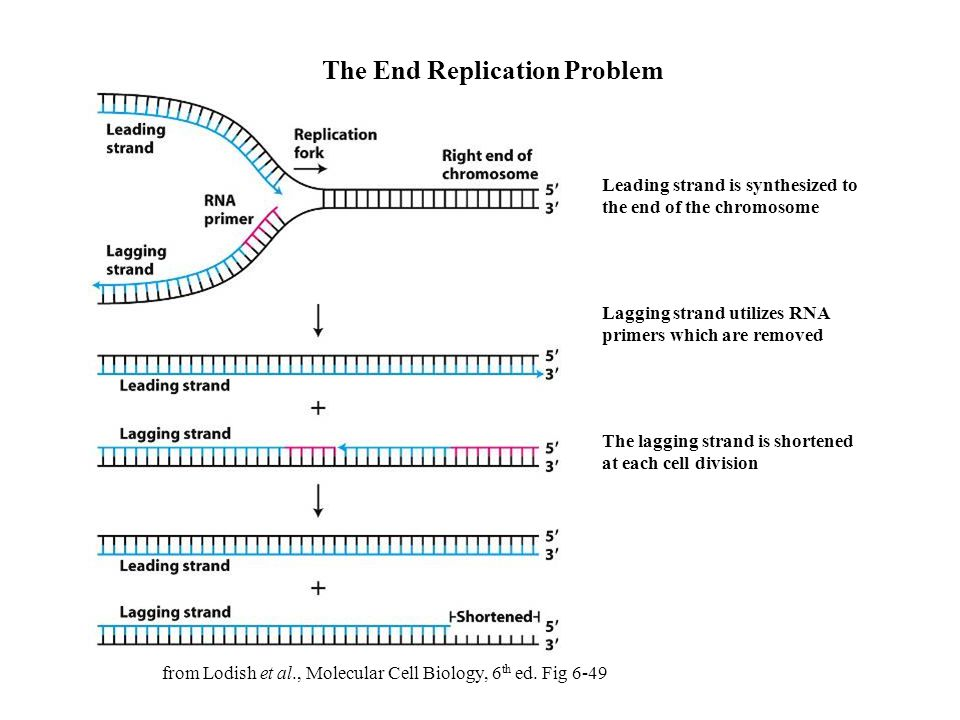 The End Replication Problem Leading strand is synthesized to the end of the chromosome Lagging strand utilizes RNA primers which are removed The laggi