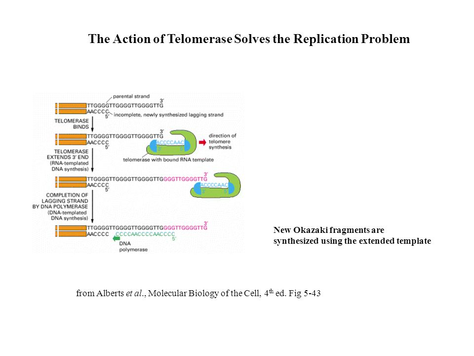 The Action of Telomerase Solves the Replication Problem from Alberts et al., Molecular Biology of the Cell, 4 th ed. Fig 5-43 New Okazaki fragments ar