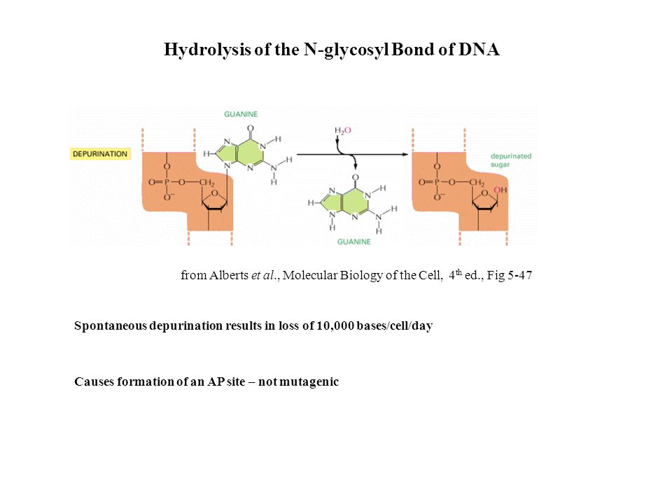 Hydrolysis of the N-glycosyl Bond of DNA Spontaneous depurination results in loss of 10,000 bases/cell/day Causes formation of an AP site – not mutage