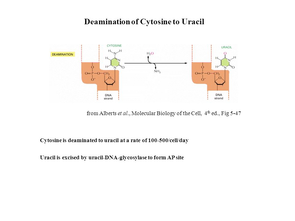 Cytosine is deaminated to uracil at a rate of 100-500/cell/day Uracil is excised by uracil-DNA-glycosylase to form AP site Deamination of Cytosine to