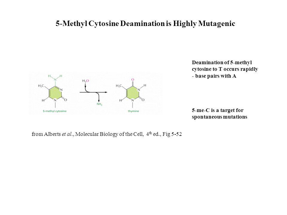 5-Methyl Cytosine Deamination is Highly Mutagenic from Alberts et al., Molecular Biology of the Cell, 4 th ed., Fig 5-52 Deamination of 5-methyl cytos