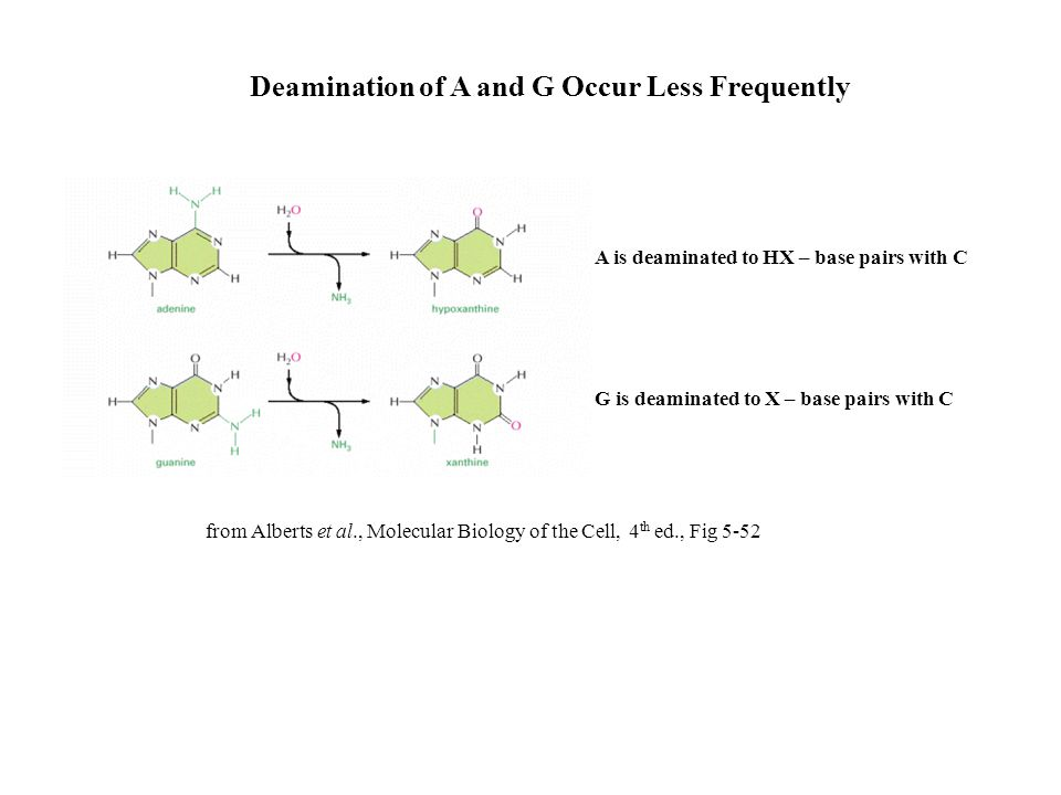 Deamination of A and G Occur Less Frequently A is deaminated to HX – base pairs with C G is deaminated to X – base pairs with C from Alberts et al., M