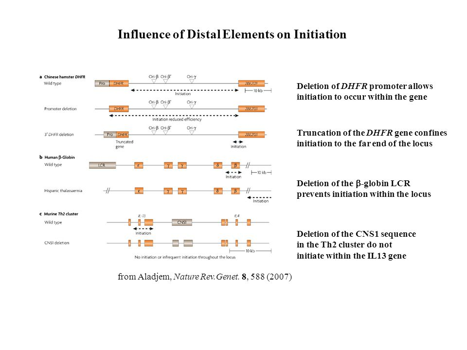 Influence of Distal Elements on Initiation from Aladjem, Nature Rev.Genet. 8, 588 (2007) Deletion of DHFR promoter allows initiation to occur within t