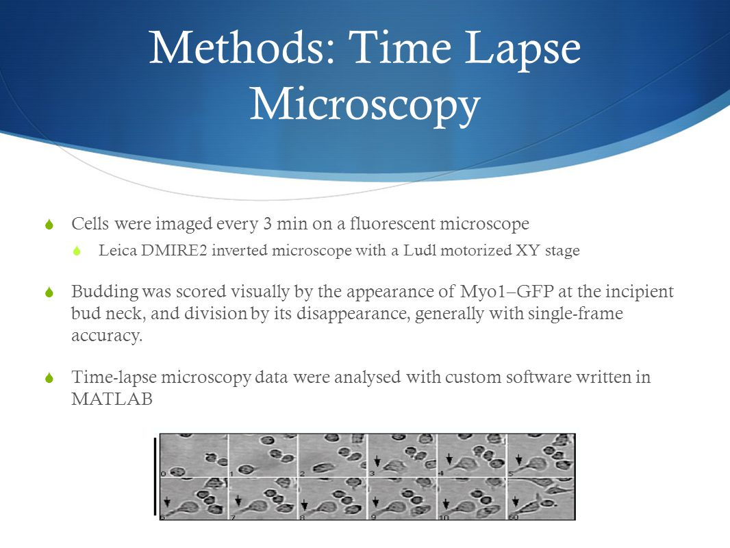 Methods: Time Lapse Microscopy  Cells were imaged every 3 min on a fluorescent microscope  Leica DMIRE2 inverted microscope with a Ludl motorized XY stage  Budding was scored visually by the appearance of Myo1–GFP at the incipient bud neck, and division by its disappearance, generally with single-frame accuracy.