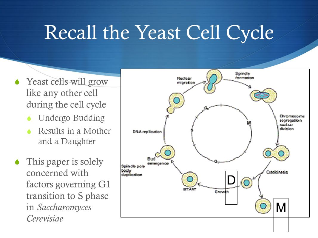 Recall the Yeast Cell Cycle  Yeast cells will grow like any other cell during the cell cycle  Undergo Budding  Results in a Mother and a Daughter  This paper is solely concerned with factors governing G1 transition to S phase in Saccharomyces Cerevisiae G1G1 D M