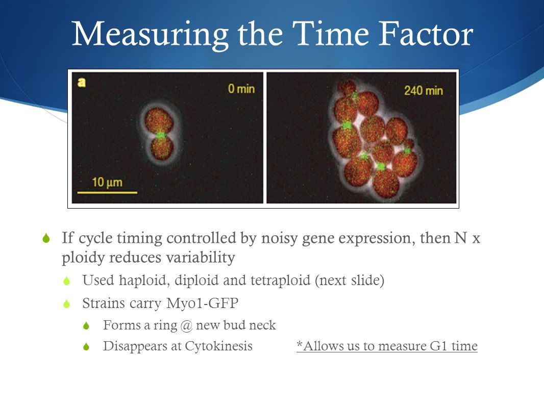 Measuring the Time Factor  If cycle timing controlled by noisy gene expression, then N x ploidy reduces variability  Used haploid, diploid and tetraploid (next slide)  Strains carry Myo1-GFP  Forms a ring @ new bud neck  Disappears at Cytokinesis*Allows us to measure G1 time