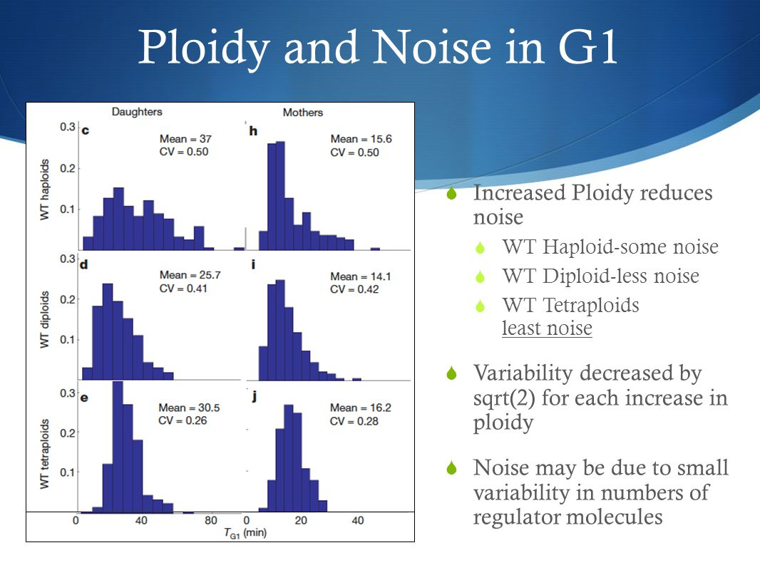 Ploidy and Noise in G1  Increased Ploidy reduces noise  WT Haploid-some noise  WT Diploid-less noise  WT Tetraploids least noise  Variability decreased by sqrt(2) for each increase in ploidy  Noise may be due to small variability in numbers of regulator molecules