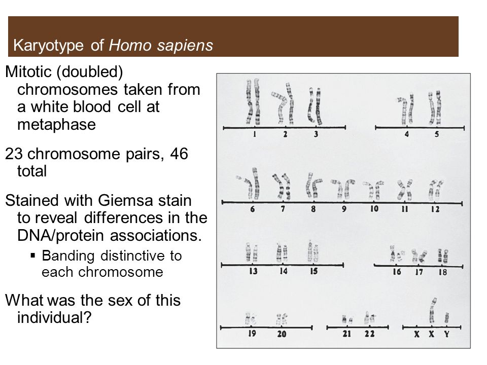 Karyotype of Homo sapiens Mitotic (doubled) chromosomes taken from a white blood cell at metaphase 23 chromosome pairs, 46 total Stained with Giemsa stain to reveal differences in the DNA/protein associations.