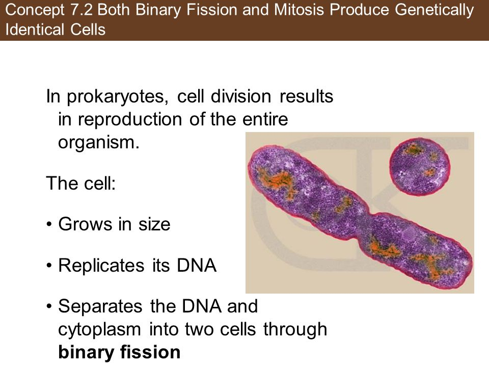 Concept 7.2 Both Binary Fission and Mitosis Produce Genetically Identical Cells In prokaryotes, cell division results in reproduction of the entire organism.