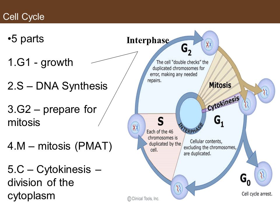 Cell Cycle 5 parts 1.G1 - growth 2.S – DNA Synthesis 3.G2 – prepare for mitosis 4.M – mitosis (PMAT) 5.C – Cytokinesis – division of the cytoplasm Interphase