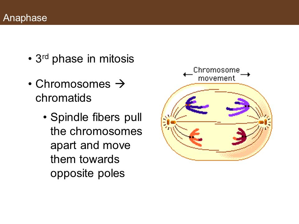 Anaphase 3 rd phase in mitosis Chromosomes  chromatids Spindle fibers pull the chromosomes apart and move them towards opposite poles