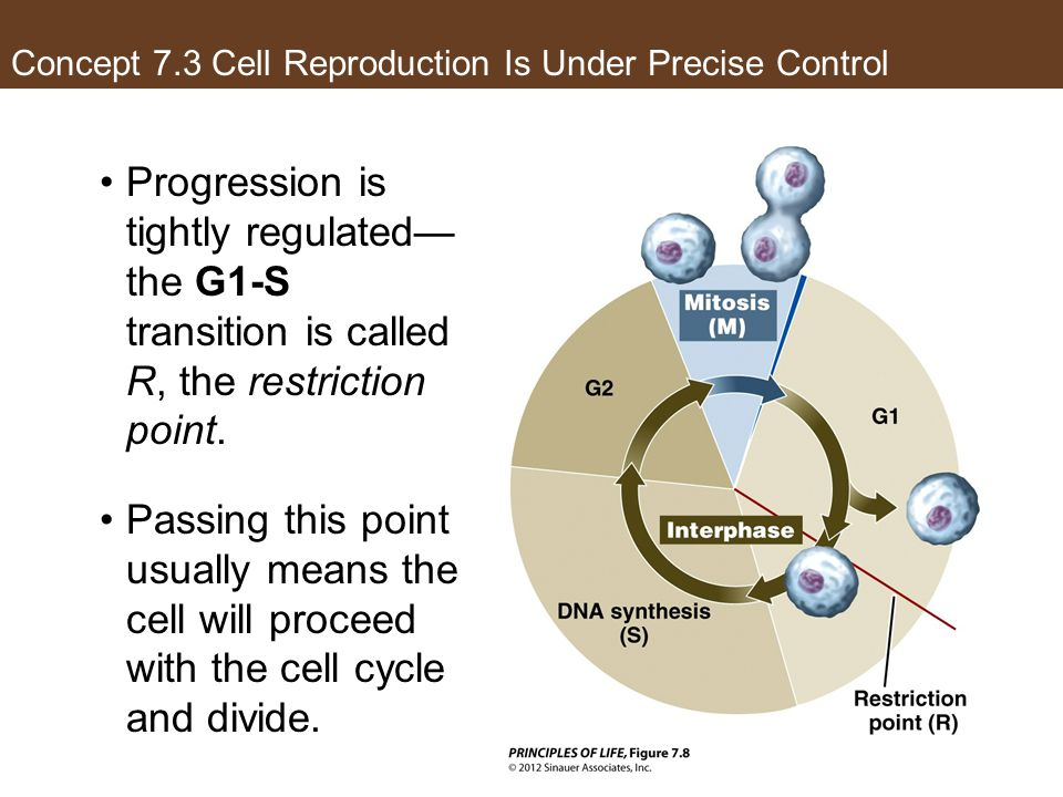 Concept 7.3 Cell Reproduction Is Under Precise Control Progression is tightly regulated— the G1-S transition is called R, the restriction point. Passi