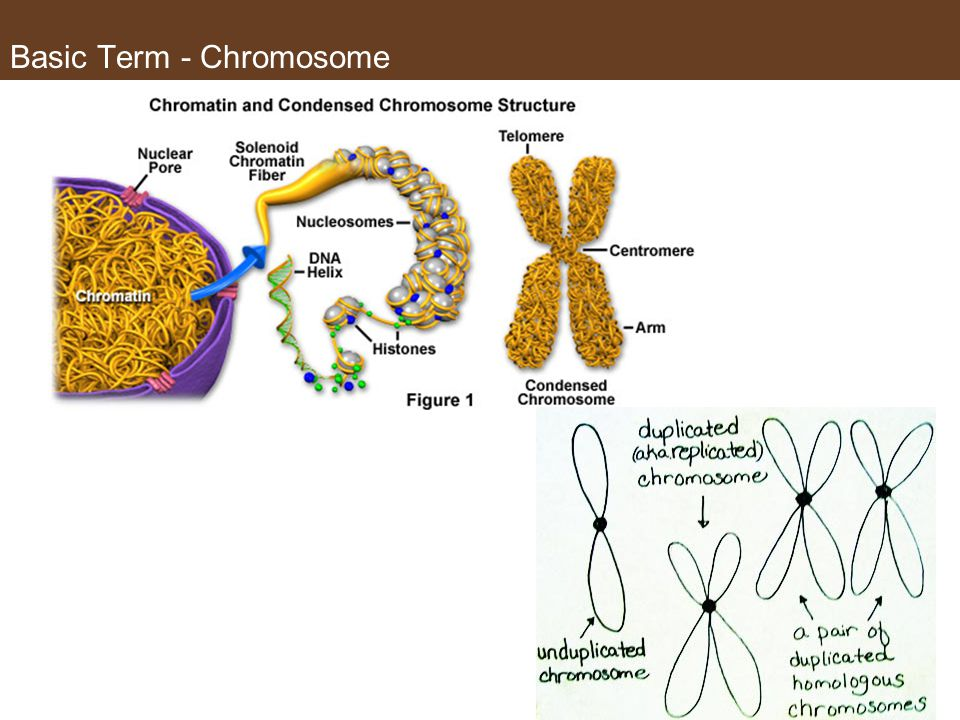 Basic Term - Chromosome