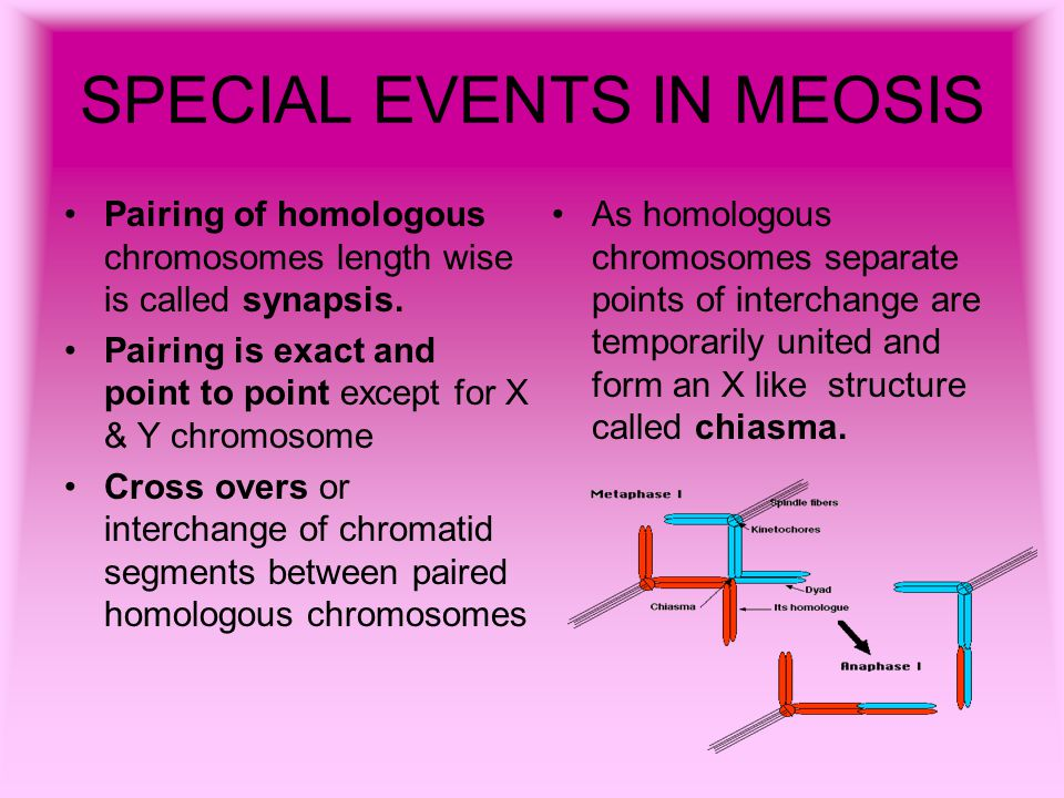 SPECIAL EVENTS IN MEOSIS Pairing of homologous chromosomes length wise is called synapsis. Pairing is exact and point to point except for X & Y chromo