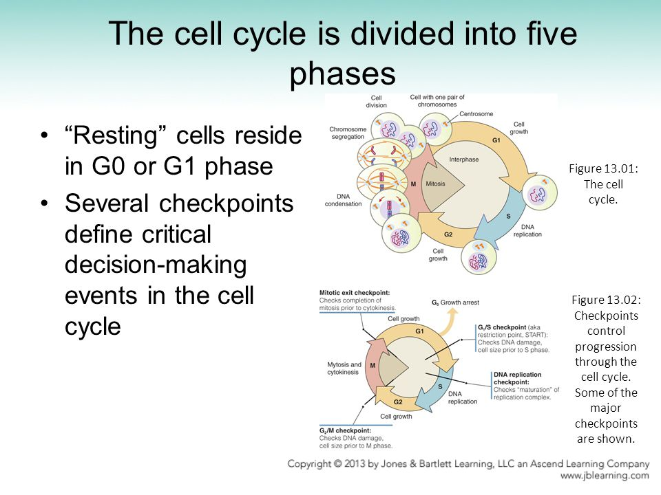 Apotosis is voluntary Figure 13.23: Sections of the interdigital web show cell death (dark-staining nuclei).