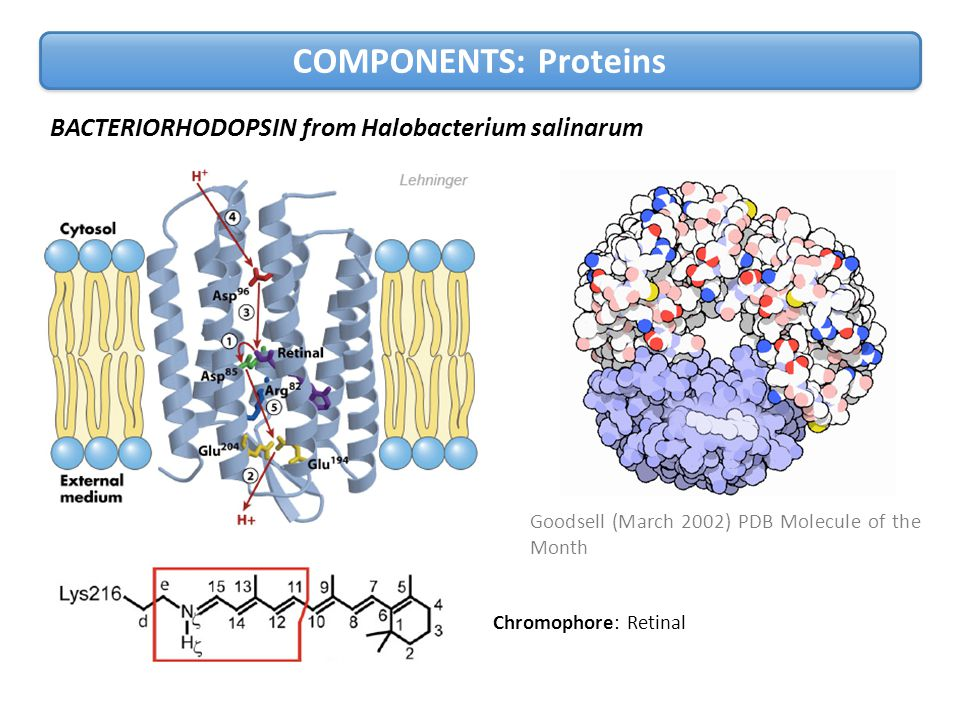 BACTERIORHODOPSIN from Halobacterium salinarum Goodsell (March 2002) PDB Molecule of the Month COMPONENTS: Proteins Chromophore: Retinal