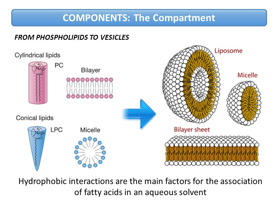 Hydrophobic interactions are the main factors for the association of fatty acids in an aqueous solvent FROM PHOSPHOLIPIDS TO VESICLES COMPONENTS: The Compartment