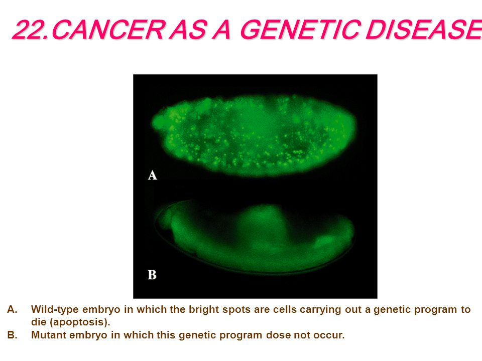 22.CANCER AS A GENETIC DISEASE A.Wild-type embryo in which the bright spots are cells carrying out a genetic program to die (apoptosis).