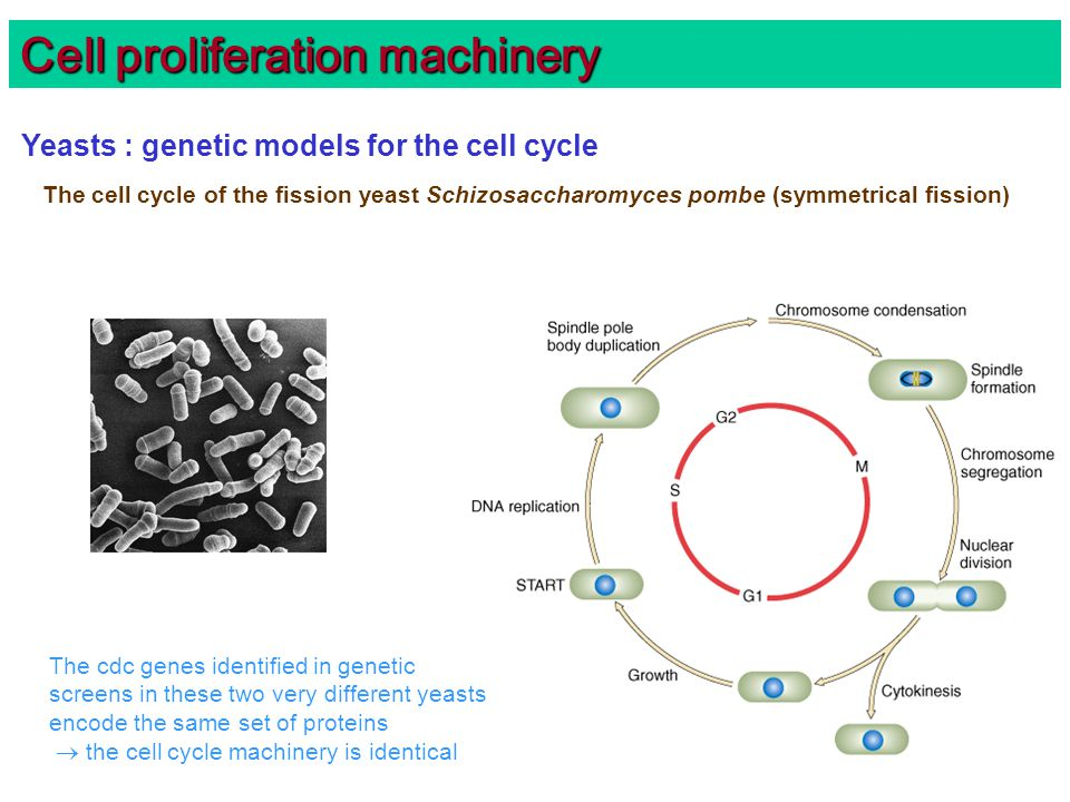 Cell proliferation machinery Yeasts : genetic models for the cell cycle The cell cycle of the fission yeast Schizosaccharomyces pombe (symmetrical fission) The cdc genes identified in genetic screens in these two very different yeasts encode the same set of proteins  the cell cycle machinery is identical
