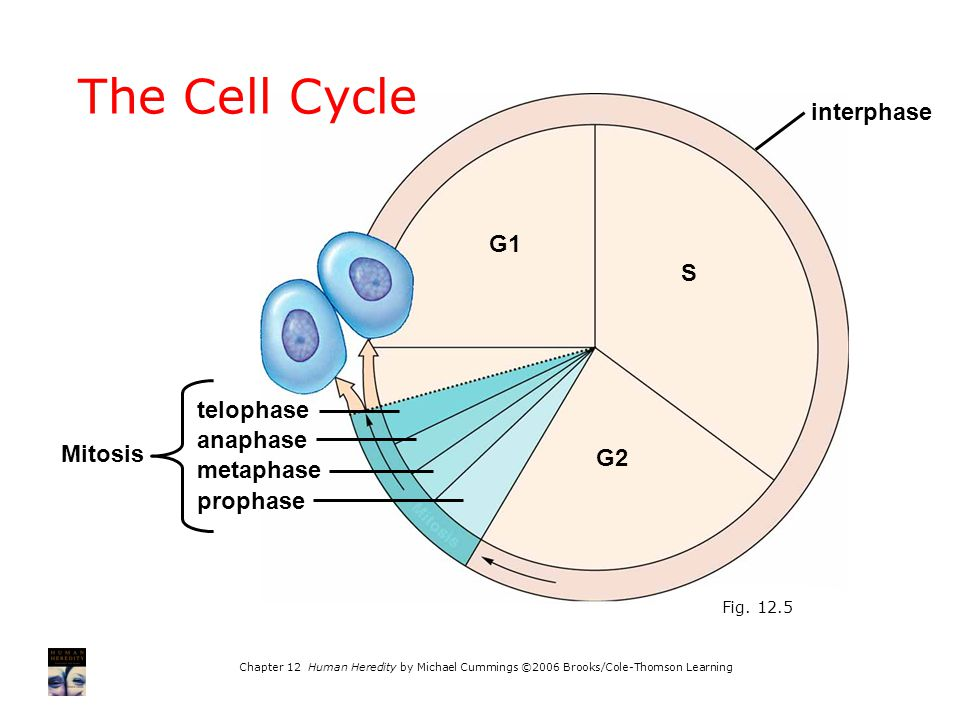 Chapter 12 Human Heredity by Michael Cummings ©2006 Brooks/Cole-Thomson Learning G1 S G2 Mitosis telophase anaphase metaphase prophase interphase The