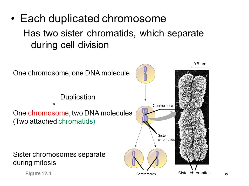 5 Each duplicated chromosome Has two sister chromatids, which separate during cell division 0.5 µm Centromere Sister chromatids Centromeres Sister chr