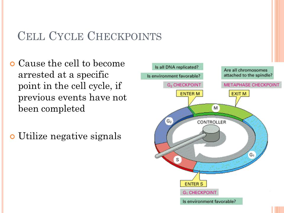 C ELL C YCLE C HECKPOINTS Cause the cell to become arrested at a specific point in the cell cycle, if previous events have not been completed Utilize