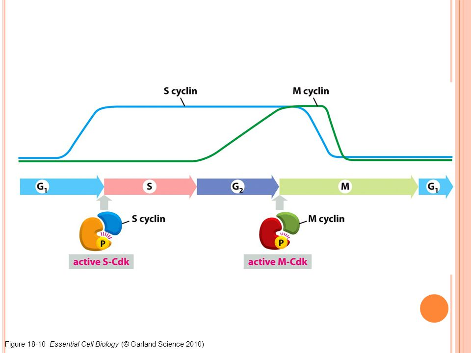 Figure 18-10 Essential Cell Biology (© Garland Science 2010)