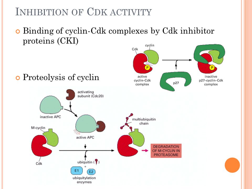 I NHIBITION OF C DK ACTIVITY Binding of cyclin-Cdk complexes by Cdk inhibitor proteins (CKI) Proteolysis of cyclin