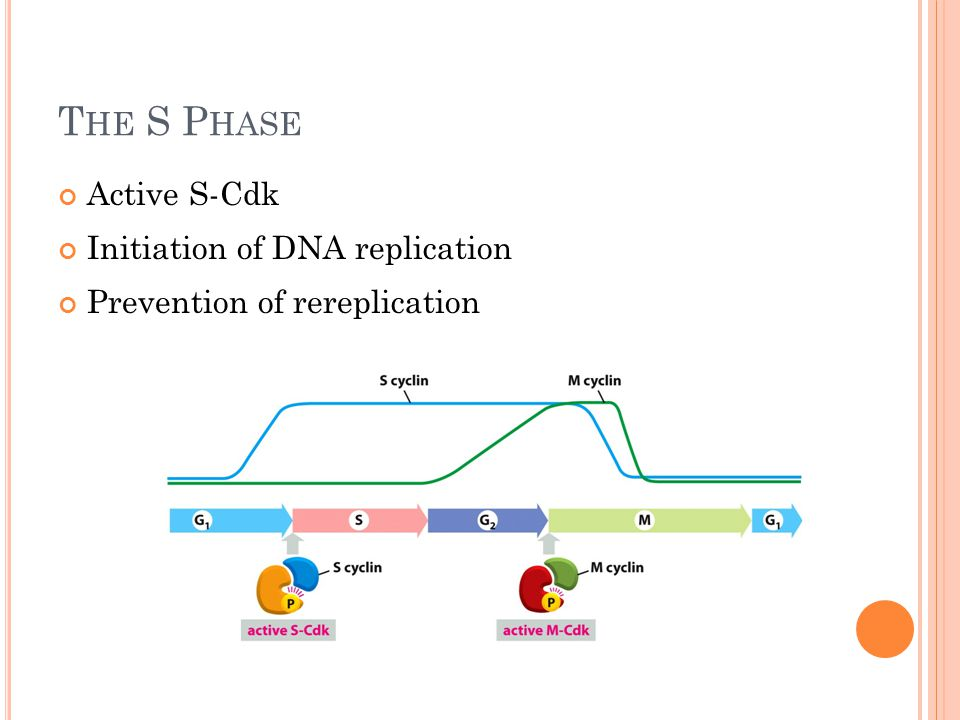 T HE S P HASE Active S-Cdk Initiation of DNA replication Prevention of rereplication